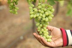 La mano del controllo dell'agricoltore a settembre e raccoglie i mazzi selezionati dell'uva in maharastra Nasik dell'India per il Fotografia Stock