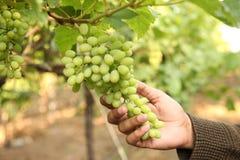 La mano del controllo dell'agricoltore a settembre e raccoglie i mazzi selezionati dell'uva in maharastra Nasik dell'India per il Fotografie Stock Libere da Diritti
