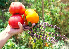 La mano del giardiniere tiene i pomodori e l'erba maturi del basilico Fotografia Stock Libera da Diritti