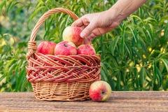 La mano del granjero está sosteniendo apenas la manzana roja escogida y la está poniendo en w fotos de archivo