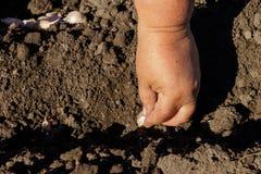 La mano del granjero que planta el ajo en huerto imagenes de archivo