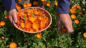 La mano del herborista del jardinero que recolecta la hierba del calendula de la maravilla florece en cesta de mimbre de madera almacen de metraje de vídeo
