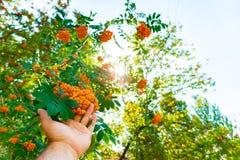 La mano del hombre estira a un árbol con el serbal rojo imagenes de archivo