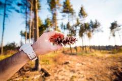 La mano del hombre que sostiene un cono del pino horizontalmente imágenes de archivo libres de regalías