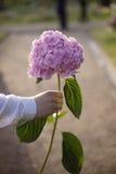 La mano del hombre que sostiene una flor rosada de la hortensia en fondo del parque Imágenes de archivo libres de regalías