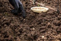 La mano del jardinero siembra los guisantes en la tierra Imágenes de archivo libres de regalías