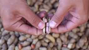 La mano del movimento lento ha schiacciato le coperture dell'arachide per pelare video d archivio