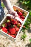 La mano del niño que sostiene la cesta de la fresa Imagen de archivo