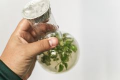 La mano del ricercatore tiene la micro pianta nella prova con il tubo Tecnologia di micropropagazione in vitro fotografie stock libere da diritti