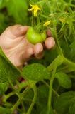 La mano del ` s de la muchacha toma un tomate Imagen de archivo