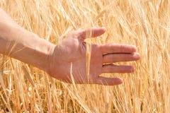 La mano del ` s dell'agricoltore e le orecchie di grano maturo che crescono di estate Immagine Stock Libera da Diritti