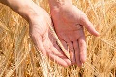 La mano del ` s dell'agricoltore e le orecchie di grano maturo che crescono di estate Fotografia Stock Libera da Diritti