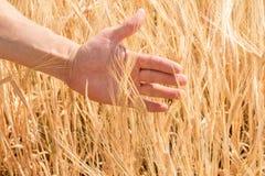 La mano del ` s dell'agricoltore e le orecchie di grano maturo che crescono di estate Fotografie Stock