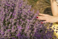 La mano del ` s della donna che tocca morbidamente la lavanda fiorisce Fotografia Stock Libera da Diritti