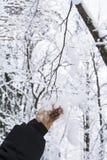 La mano del ` s del hombre del fondo en una chaqueta negra sacude nieve de una rama de árbol nevosa Foto de archivo libre de regalías