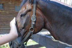 La mano del ` s del niño frota ligeramente el caballo de bahía fotografía de archivo libre de regalías