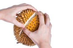 La mano del uso peló el durian espinoso con su deliciou maduro y suave fotografía de archivo