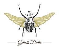 La mano del vector dibujada coloreó el escarabajo tropical de Goliat con las alas aisladas en el fondo blanco libre illustration