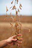La mano dell'agricoltore che mostra la pianta di soia immagini stock libere da diritti