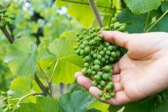 La mano dell'agricoltore di vino femminile controlla la qualità di giovane uva verde del pinot nero in una vigna Fotografia Stock