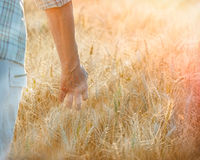 La mano dell'agricoltore nel giacimento di grano Immagini Stock