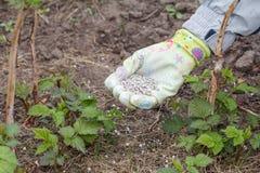 La mano dell'agricoltore si è vestita in un guanto che dà il fertilizzante chimico al soi Immagine Stock Libera da Diritti