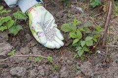 La mano dell'agricoltore si è vestita in un guanto che dà il fertilizzante chimico al soi Immagini Stock