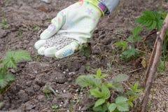 La mano dell'agricoltore si è vestita in un guanto che dà il fertilizzante chimico al soi Immagini Stock Libere da Diritti