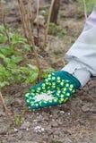 La mano dell'agricoltore si è vestita in un guanto che dà il fertilizzante chimico al soi Fotografia Stock