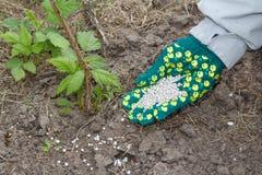La mano dell'agricoltore si è vestita in un guanto che dà il fertilizzante chimico al soi Fotografia Stock Libera da Diritti