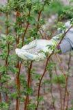 La mano dell'agricoltore si è vestita in un guanto che tiene dopo il fertilizzante chimico Fotografia Stock Libera da Diritti