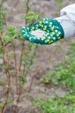 La mano dell'agricoltore si è vestita in un guanto che tiene dopo il fertilizzante chimico Fotografia Stock