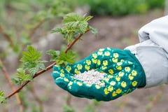 La mano dell'agricoltore si è vestita in un guanto che tiene dopo il fertilizzante chimico Immagine Stock Libera da Diritti