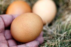 La mano dell'uomo ed il pollo egg in nido Fotografia Stock Libera da Diritti