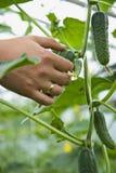 La mano dell'uomo sta selezionando i cetrioli Fotografia Stock
