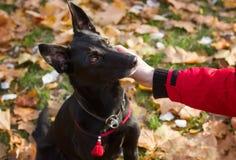 La mano della donna che segna il cane nero dell'incrocio Fotografie Stock