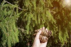 La mano della donna che tiene due coni del pino con il fondo nella foresta, ¼ del pino di FÃ ssen, la Germania fotografia stock libera da diritti