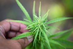 La mano della donna che tiene una giovane foglia crescente della marijuana della cannabis dentro una serra immagine stock libera da diritti