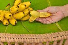 La mano della donna con le banane gialle del diplomatico ha messo sopra la foglia verde della banana, il kluay-khai, Mas di Pisan Fotografia Stock Libera da Diritti