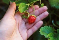 La mano della donna con le fragole fresche si è raccolta nel giardino Fragole organiche fresche che crescono sul campo Chiuda su, immagine stock libera da diritti