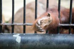 La mano della gorilla Immagine Stock Libera da Diritti