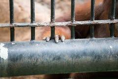 La mano della gorilla Fotografia Stock