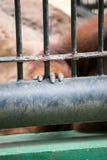 La mano della gorilla Fotografie Stock