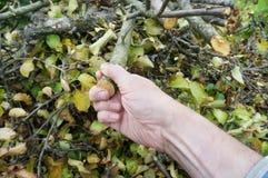 La mano di prima generazione dell'agricoltore anziano estrae di un mucchio un ramo del taglio Immagine Stock