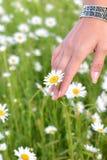 La mano di una donna che cammina nel giardino della margherita fotografie stock libere da diritti