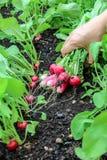 La mano di una donna ha preso il primo raccolto dei ravanelli nel giardino alzato del letto fotografia stock