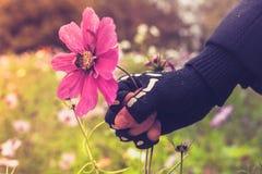 La mano en guante esquelético está asiendo violentamente la flor con la abeja Imagen de archivo