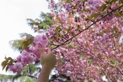 La mano escoge una flor de la cereza imagenes de archivo