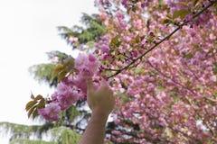 La mano escoge una flor de la cereza Imagen de archivo