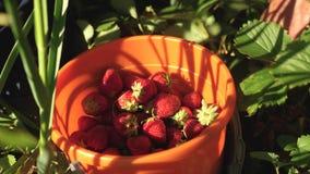 La mano escoge una fresa roja de un arbusto y la pone en un cubo un granjero cosecha una baya madura la mano del jardinero almacen de metraje de vídeo